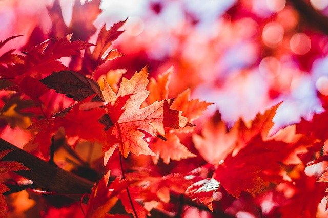 Red leaves in fall.